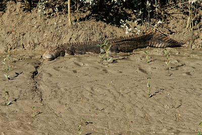 We spotted this crocodile sunbaking on the edge of a mangrove creek. The croc would have had no problems clearing the 5 m mark ( around 15' ) and most likely weighed around the 700 kg ( 1500 lbs ), according to the info we have.