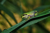 Beautifully coloured tiny juvenile tree frog. Must have just recently passed from the tadpole morph.