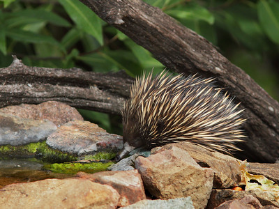 ECHIDNA  01 HAVING A DRINK AT THE BIRD BATH NEXT TO THE HOUSE. MUST HAVE GOTTEN THIRSTY AFTER DIGGING UP ALL THOSE HOLES AND DISLODGED ROCK AFTER ROCK ON THE GARDEN BEDS, WHILST LOOKING FOR TERMITES. AS CUTE AS THEY ARE .........