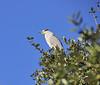 Orange-eyed Night Heron in a Live Oak tree