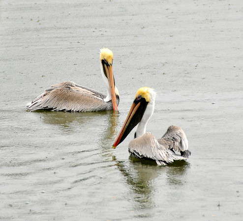 Two Brown Pelicans in the rain