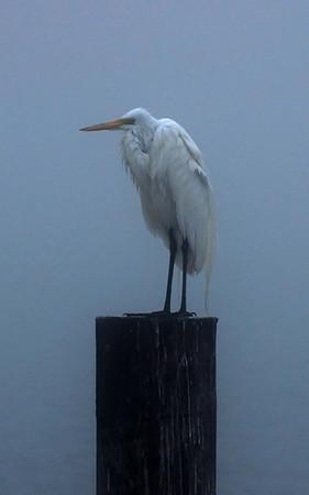 foggy morning at Fulton Harbor - a very damp egret