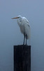foggy morning at Fulton Harbor - a very damp egret