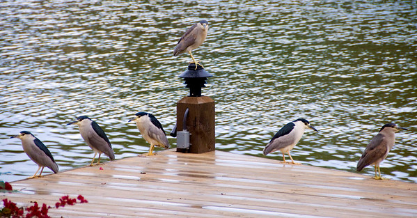 CEO & VPs Black-crested Night Herons