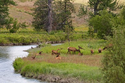 Elk Herd, National Bison Range