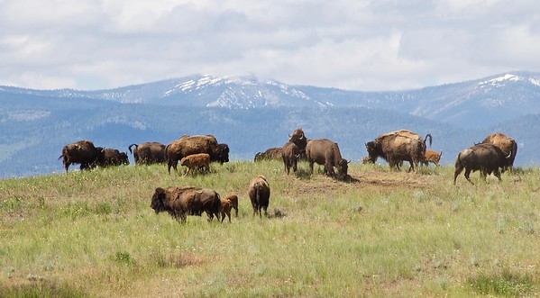 Bison Herd, National Bison Range, Montana