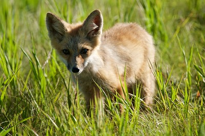 Curious Fox Kit, Missoula, Montana