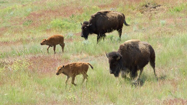 Cows with Calves, National Bison Range