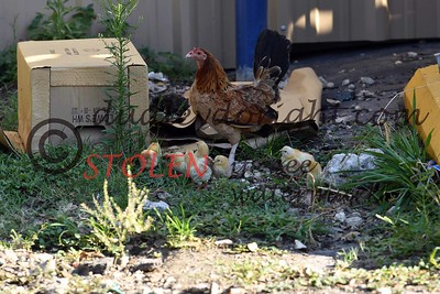Rocksprings2017-008 hen and chicks
