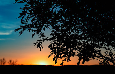 LasCruces NM Tree Sunset