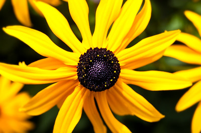 Black Eyed Susan Flower Macro