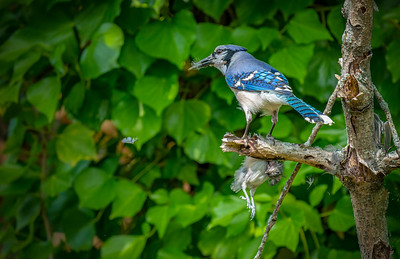 Bluejay Cannibal