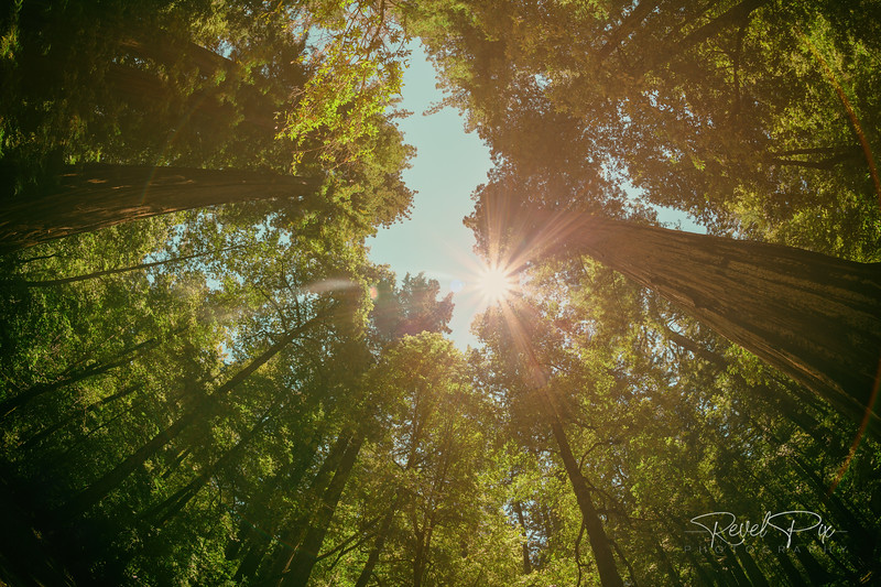 Looking Up Through Redwood Tree Canopy