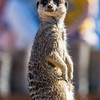 Meerkat in Yorkshire Wildlife park