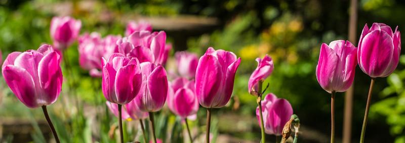 Tulips in Windermere