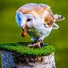 Owl feeding time