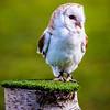 Barn owl at Yorkshire Wildlife Park