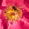 14. Hover fly in garden