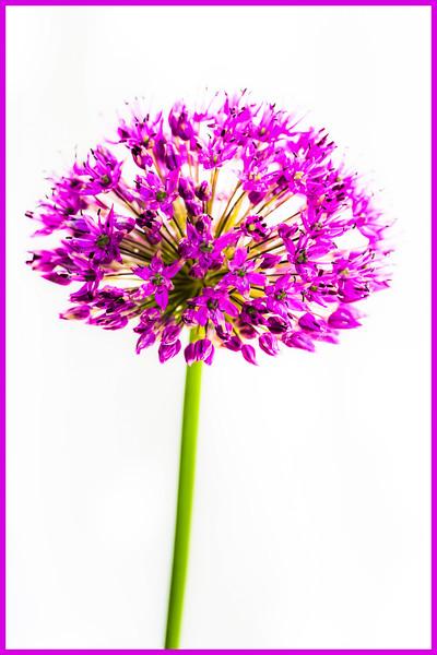 8. Allium in the Garden