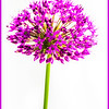 8. Allium in the Garden