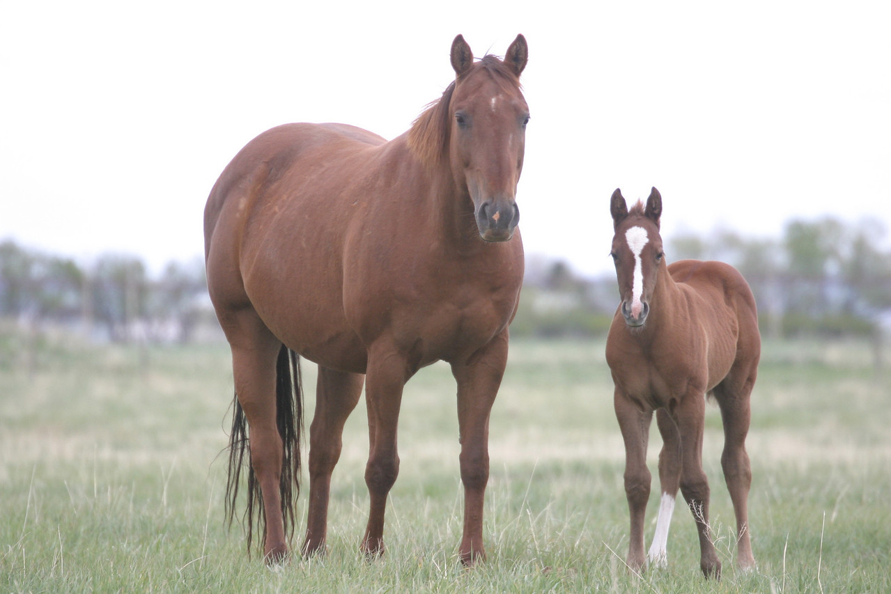Miss N Cash mare (Scarlet) with Royal Quik Frenchman colt