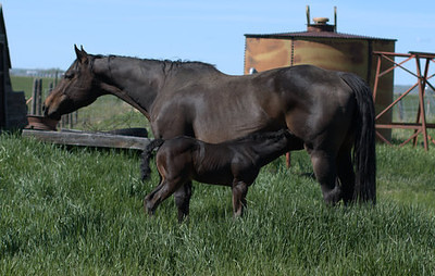 2011 Royal Quik Frenchman Foals