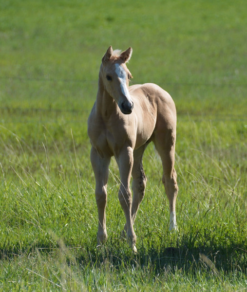 2013 Royal Quik Frenchman Foals