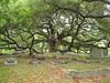 Huge live oak providing shade in the Cemetery