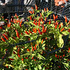 The Tabasco pepper plant.  Red is the color to pick and process.