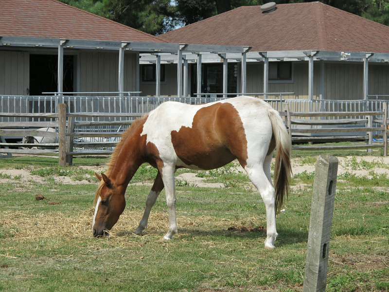 Conchincoteague Island Pony