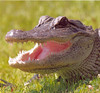Honorable Mention Certificate<br /> Larry Lopez - Alligator