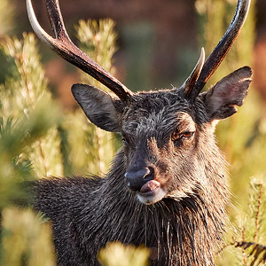 Sika stag portrait