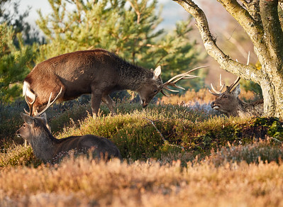 Sika Stags at dawn