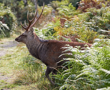 Stag emerges from the ferns