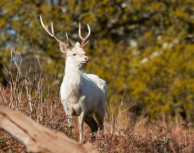 Magnificent white stag