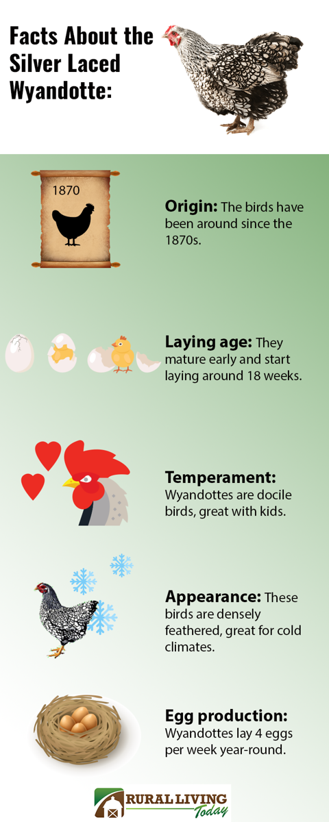 Silver Laced Wyandottes Infographic