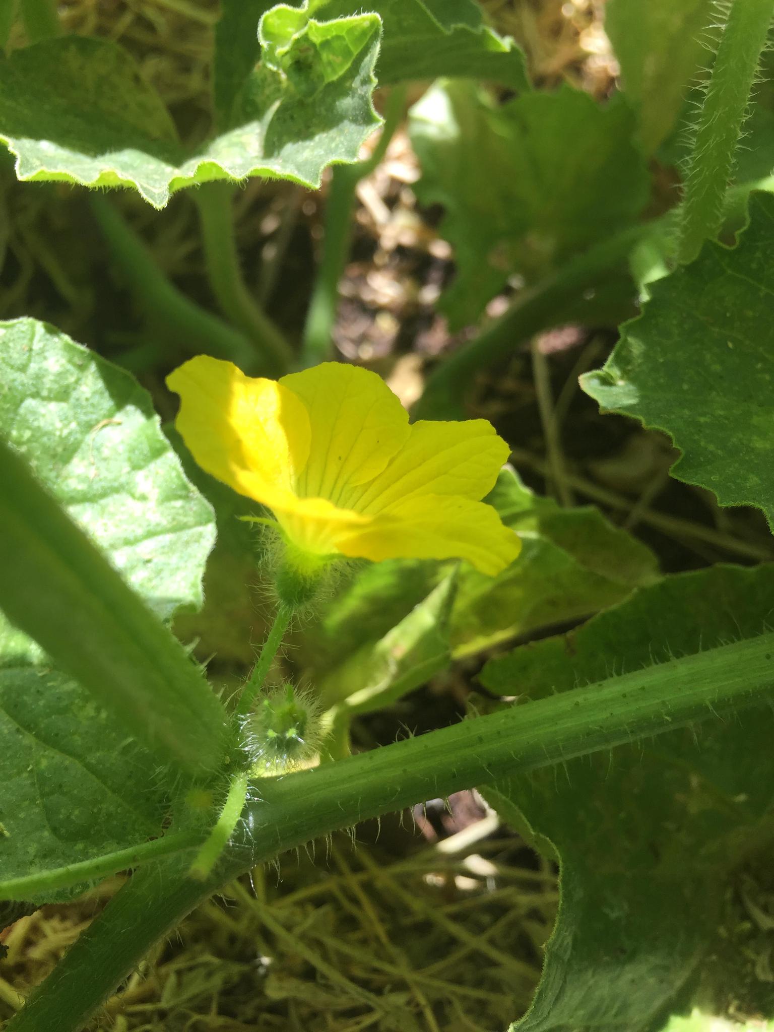 Male watermelon flower