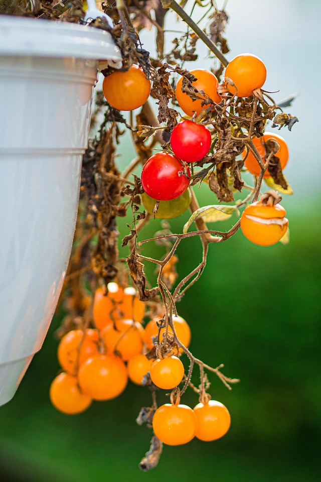 Growing tomatoes in planter