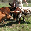 Miniature Texas Longhorns
