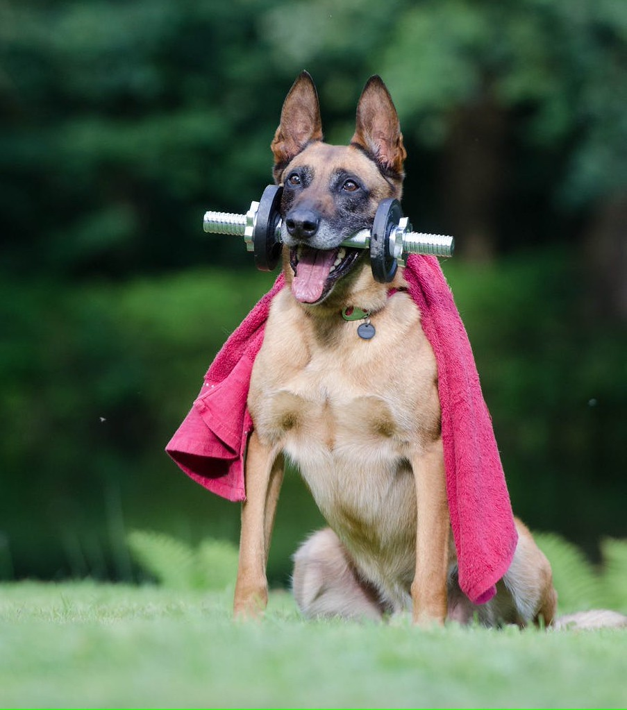 Belgian Malinois Guard Dog