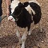 Miniature Holstein Milk Cow