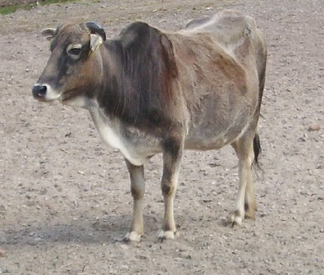 Miniature Zebu Cow