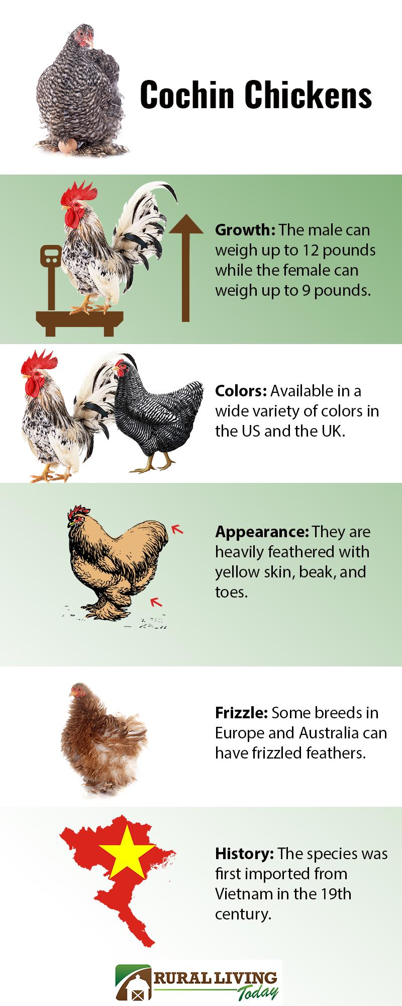 Cochin Chicken Infographic