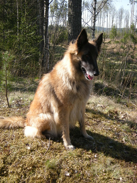 Belgian Tervuren Protection Dog