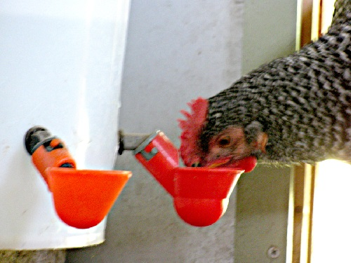 Backyard Chickens Watering Drinker Cups