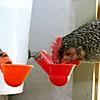 Backyard Chickens Watering Drinker Cups