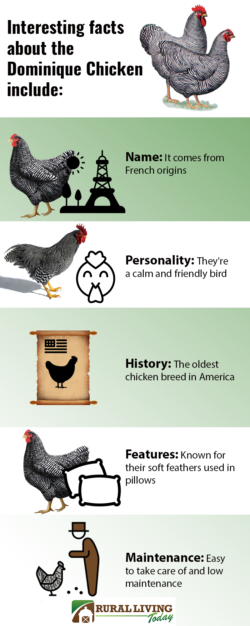Dominique Chicken Infographic