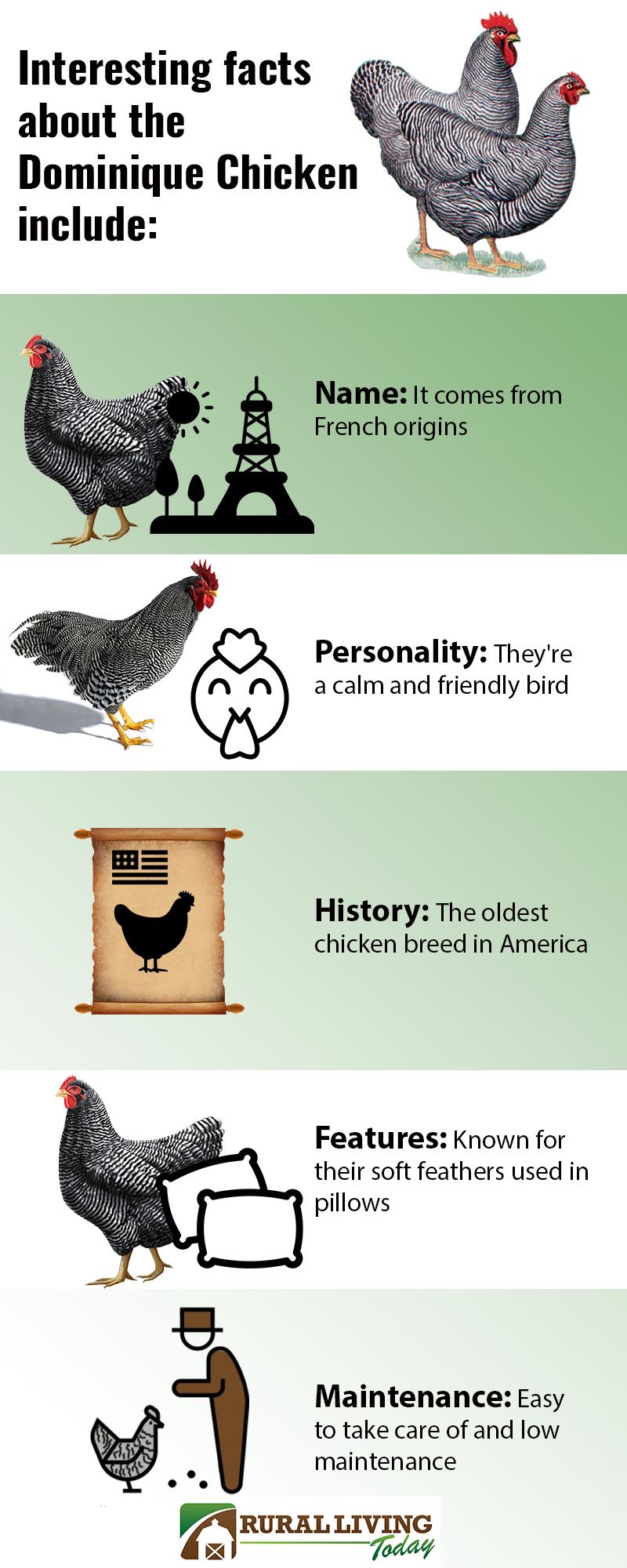 Dominique Chicken Infographic