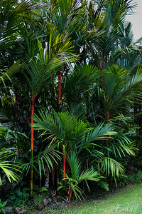 Garden of the Sleeping Giant - Red Palm