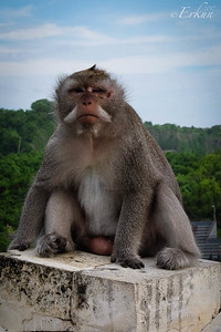 Uluwatu Temple Macaque ... looks like he's been in a fight.
